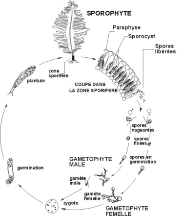 Biological cycle of Undaria pinnatifida