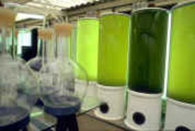 Algae are grown in hatcheries, inside 300 liter flasks